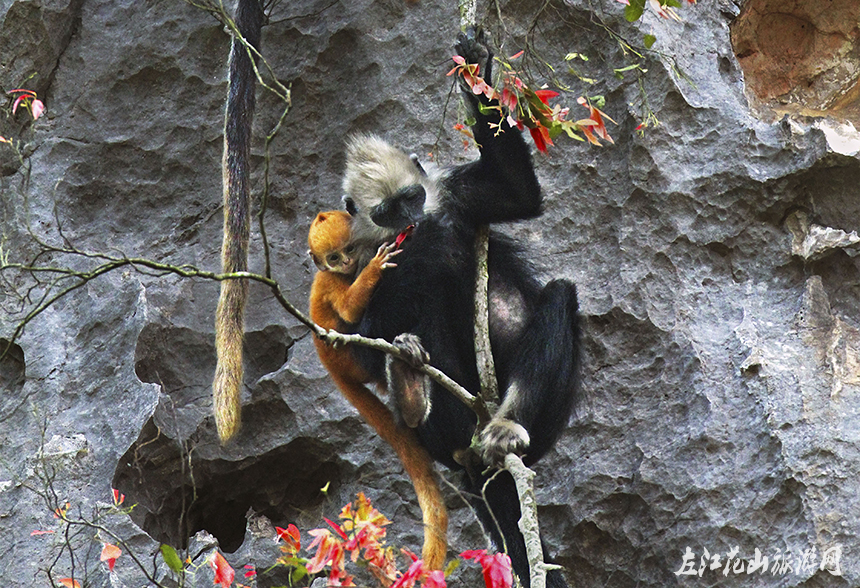 广西黑蟒蛇_左江花山旅游网-白头叶猴生态旅游区-白头叶猴生态旅游区4A级